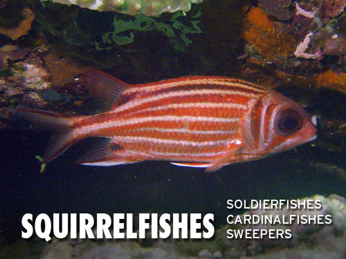 Squirrelfishes
