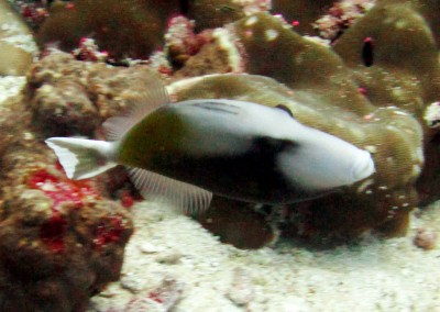 Halfmoon Triggerfish