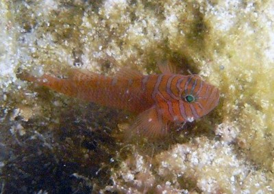 Head-barred Goby