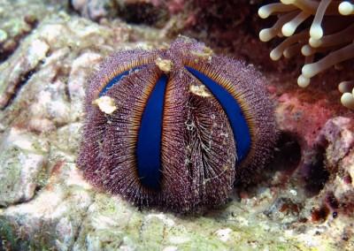 Jewel Urchin