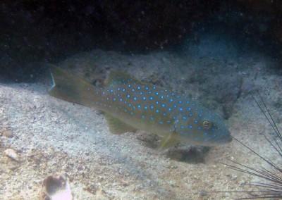 Squaretail Coralgrouper