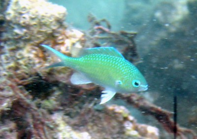 Black-axil Chromis