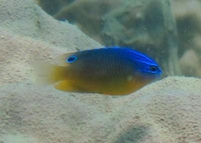 Bluespot Damsel - juvenile