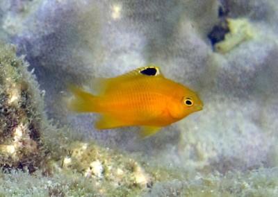Western Gregory - juvenile