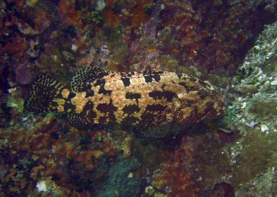 Brown-marbled Grouper