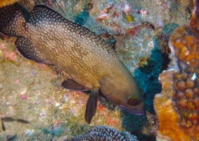 Specklefin Grouper [Gulf]