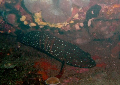 Spotted Coralgrouper