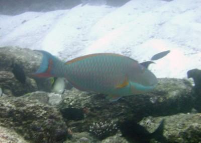 Bicolor Parrotfish - male