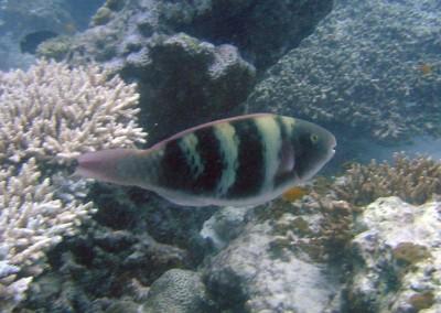 Bleeker's Parrotfish - female