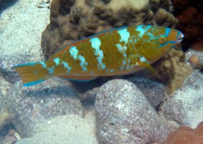 Bluebarred Parrotfish - female