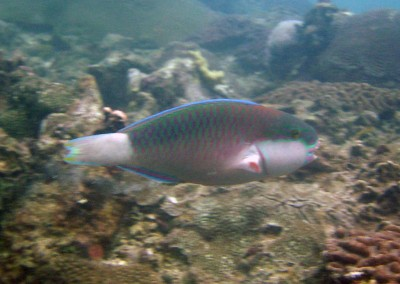 Bullethead Parrotfish - male