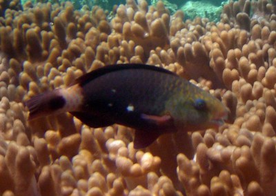 Bullethead Parrotfish - female