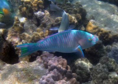 Chameleon Parrotfish - male