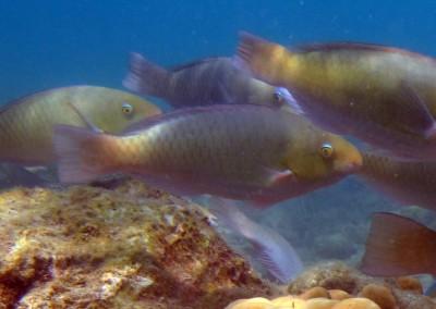 Chameleon Parrotfish - female