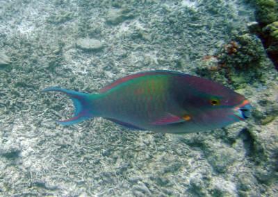 Dusky-capped Parrotfish - male