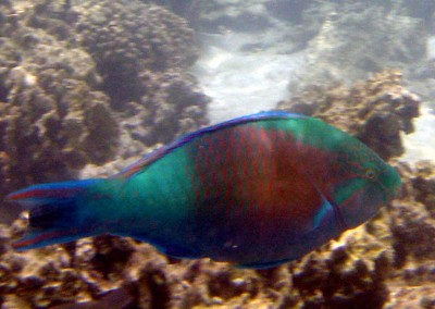 East-Indies Parrotfish - male