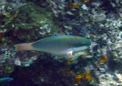 Pale Bullethead Parrotfish - male