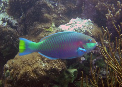 Quoy's Parrotfish - male