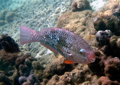 Redlip Parrotfish - female