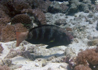 Schlegel's Parrotfish - female