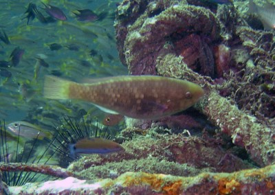 Spinytooth Parrotfish