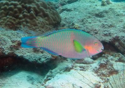 Surf Parrotfish - male