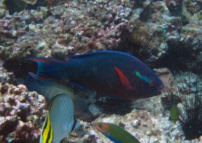 Swarthy Parrotfish - male