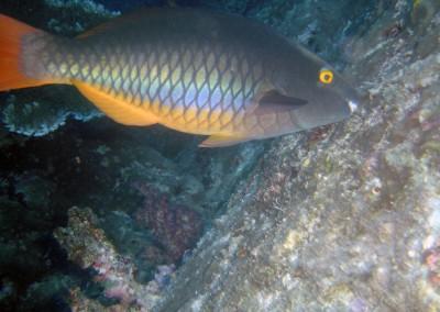 Tricolor Parrotfish - female