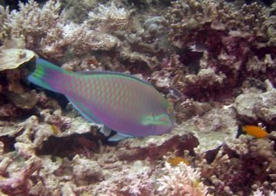 Troschel's Parrotfish - male