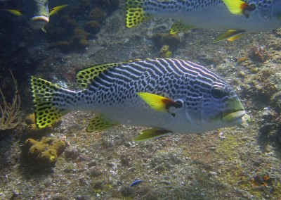 Lined Sweetlips