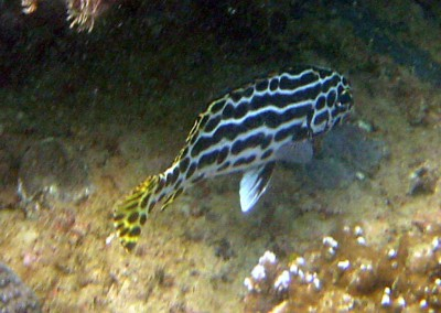 Lined Sweetlips - juvenile