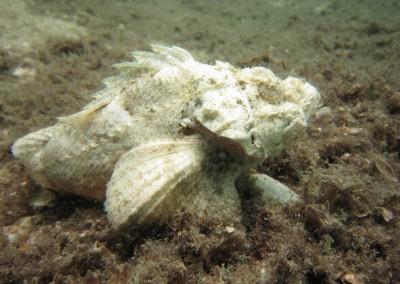 Humpback Scorpionfish