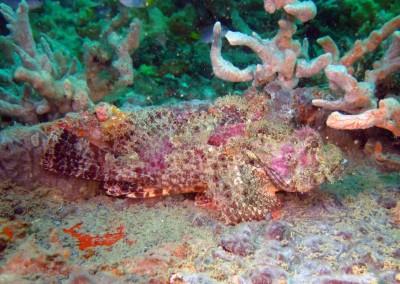 Tassled Scorpionfish (Gulf)