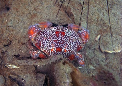 Mosaic Reef Crab