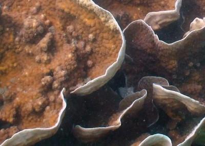 Funnel Coral - close up