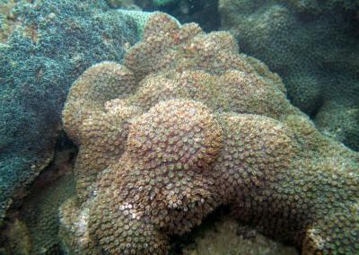 Starburst Coral