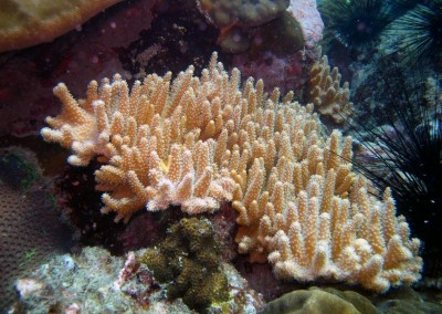 Golden Fingering Coral