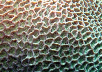Honeycomb Coral - close up