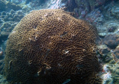 Large Brain Coral