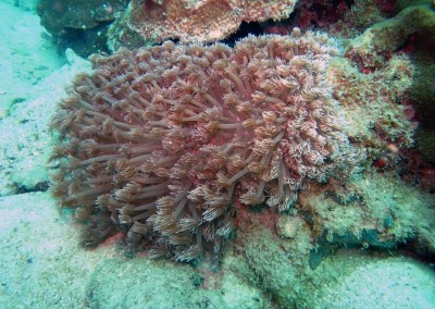 Anemone Coral