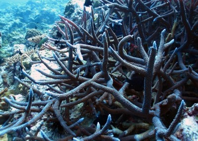 Robust Staghorn Coral