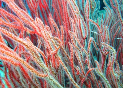 Sea Fan - close up