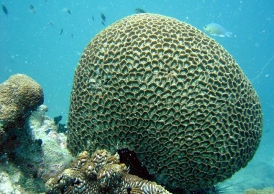 Honey Comb Coral