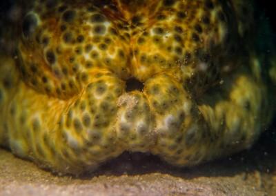Ocellated Sea Cucumber
