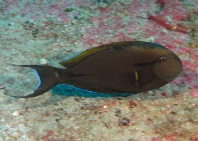Blackstreak Surgeonfish