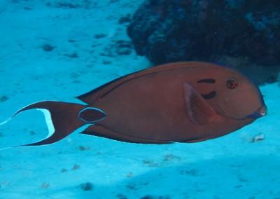 Lietenant Surgeonfish