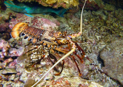 Longlegged Spiny Lobster