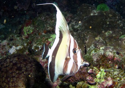 Moorish Idol - night coloration