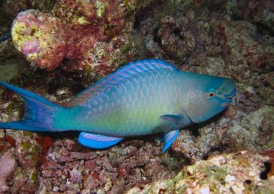 Redlip Parrotfish - male