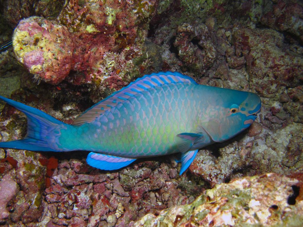 Parrotfishes | Thai Scuba